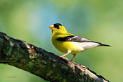 Canary Yellow Art - Blue Heart Goldfinch by Christina Rollo