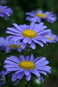 Blue Flowers Photos - Blue by Heather Applegate