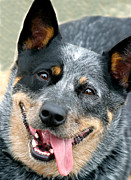 Jacqui Martin - Blue Heeler