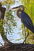 Amazing Jules - Blue Heron