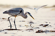 Blue Heron At The Beach Print by Joan McCool