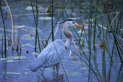 Bill Hosford - Blue Heron