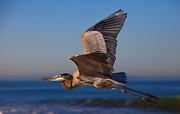 David Millenheft - Blue Heron