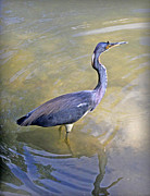 Donald Hill - Blue Heron
