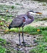 E White Framed Prints - Blue Heron Framed Print by E White