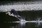 Roger Lewis Metal Prints - Blue Heron Fishing Metal Print by Roger Lewis