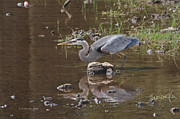 Tom Janca - Blue Heron Fishing
