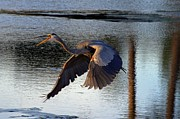 Mark Head - Blue heron flying