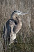 Featured Metal Prints - Blue Heron Gulf Shores Alabama United Metal Print by Jim Julien