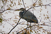 Anthony Wilder - Blue Heron in a Tree