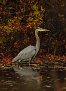 Blue Heron In The Fall Print by Raymond Salani III
