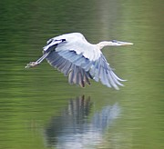 Kasie Morgan - Blue Heron