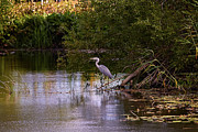 Tree Leaf On Water Photo Prints - Blue heron Print by Leif Sohlman