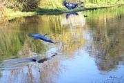 Diana Haronis - Blue Herons on Golden Pond