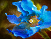 Julie Palencia Digital Art Prints - Blue Himalayan Poppy Print by Julie Palencia