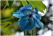 Tanya  Searcy - Blue Himalayan Poppy