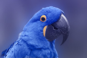 Creative Photography Photos - Blue Hyacinth Macaw - Anodorhynchus hyacinthinus - Puohokamoa Hoolawa Maui Hawaii  by Sharon Mau