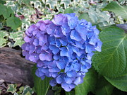 Everything Originals - Blue Hydrangea by Elisabeth Ann