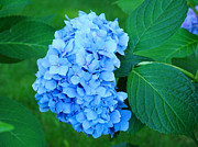 Blue Flowers Posters - Blue Hydrangea Flower art prints Nature Floral Poster by Baslee Troutman Floral Photography