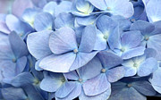 Pictures Photo Originals - Blue Hydrangea by Leslie Reitman
