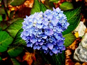 Kitchen Photos Prints - Blue Hydrangea Print by Will Boutin Photos