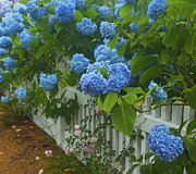 Amazing Jules - Blue Hydrangeas