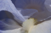 Joann Vitali Prints - Blue Iris 3 Print by Joann Vitali