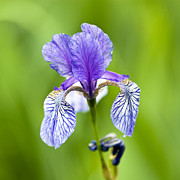 Flower Photos Metal Prints - Blue Iris Metal Print by Frank Tschakert