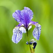 Blue Iris Print by Frank Tschakert