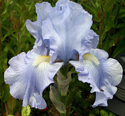Eloquence Prints - Blue Iris Print by Kay Novy