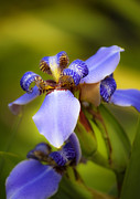 Blue Flowers Photos - Blue Iris No. 1 by Stephen Anderson