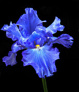 Baskets Posters - Blue Iris Poster by Robert Bales