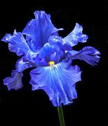 Blue Iris Print by Robert Bales