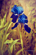 Thomas Churchwell - Blue Iris