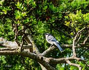 Allen Sheffield - Blue Jay