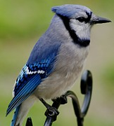 Gail Matthews Metal Prints - Blue Jay Beauty Metal Print by Gail Matthews