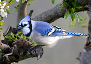 Nava Jo Thompson Prints - Blue Jay Beauty Print by Nava Jo Thompson