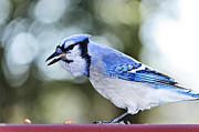 Feeding Photo Metal Prints - Blue jay bird Metal Print by Elena Elisseeva