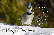 Blue Jay Images Prints - Blue Jay Christmas Card 1 Print by Michael Cummings