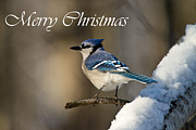 Blue Jay Images Prints - Blue Jay Christmas Card 2 Print by Michael Cummings