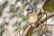 Bluejay Metal Prints - Blue Jay Metal Print by Everet Regal