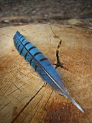 Blue Jay Feather Print by Matt Taylor