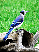 Bluejay Metal Prints - Blue Jay III Metal Print by DiDi Higginbotham