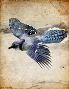 Ray Downing Digital Art Posters - Blue Jay in Flight Poster by Ray Downing