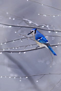 Blue Jay Images Prints - Blue Jay In The Rain Print by Tom York