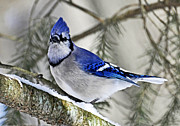 Rodney Campbell - Blue Jay in Winter
