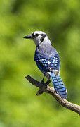 David Lester Prints - Blue Jay Posture Print by David Lester