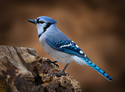 Blue Jay Framed Prints - Blue Jay Framed Print by Steve Zimic