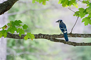 Nikon Pyrography Metal Prints - Blue Jay Metal Print by Tom Spencer