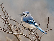 Shenandoah Valley Metal Prints - Blue Jay Way Metal Print by Lara Ellis